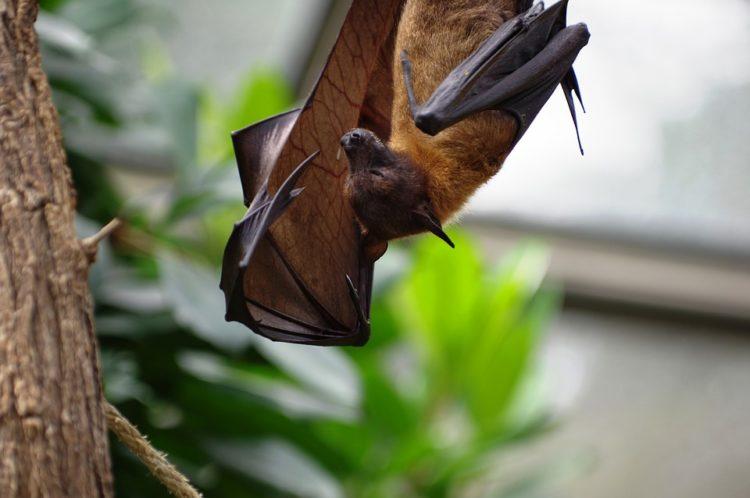 humanos necesitamos murciélagos cosechas insecticidas control de plagas polinizadores cambures mangos guayabas duraznos polinización pestes enfermedades vectores descenso poblacion habitat