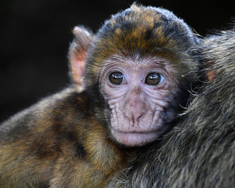 vw volkswagen realizo pruebas de inhalacion de diesel en monos y humanos se destapa un escandalo pruebas alteradas fraude la compañia pide disculpas corrupcion y crueldad animal