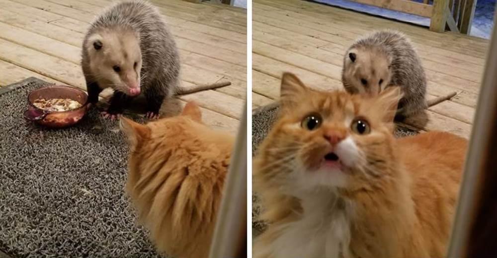 La reacción de un gato al ver cómo una atrevida zarigüeya le roba su comida se hace viral