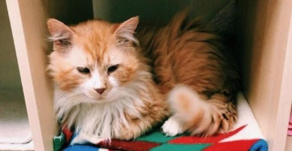Un gato camina kilómetros para volver al hogar donde «lo amaban» y ellos lo llevan a sacrificar