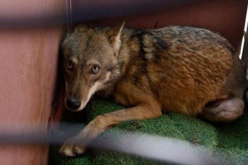 lobo atropellado israel salvado rescate puesto en libertad tel aviv the israeli wild life hospital wolf saved rescued