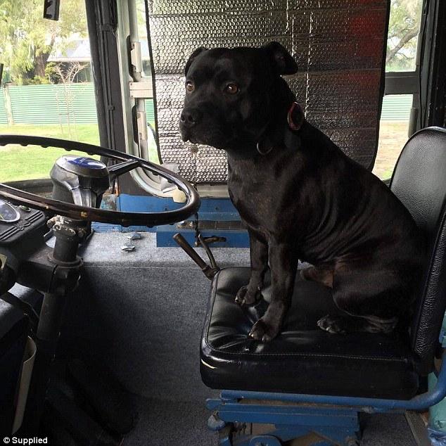 perro heroe zeus de mick condo ciudad de perth salva a un pobre hombre anciano que se habia caido y fracturado su cadera, tenia 2 días durmiendo a la intemperie en el patio