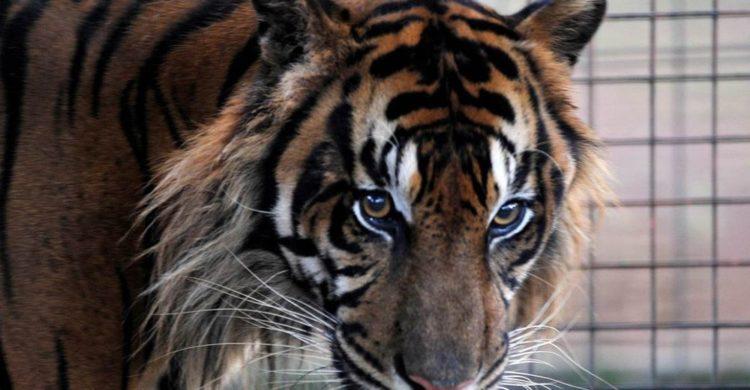 tigre usado como decoracion atraccion en una graduacion en una escuela de florida peta y muchas organizaciones escribieron a la escuela que pidio disculpas y prometio no volver a permitir este abuso y crueldad animal