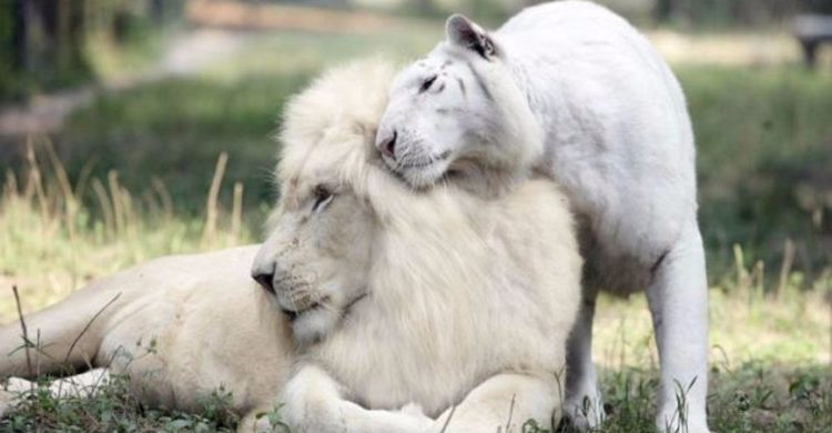 un tigre blanco y un león blanco tuvieron cachorros los únicos 4 tigres leones blancos del mundo ivory Saraswati los cachorros son asombrosos Myrtle Beach Safari in South Carolina