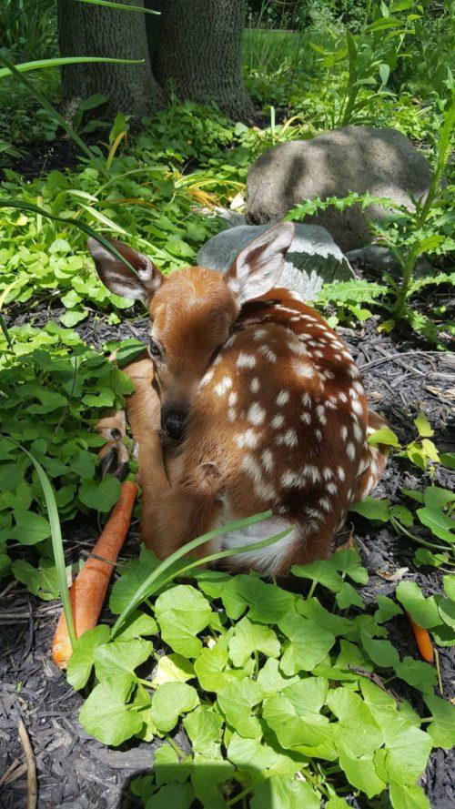 esta mujer dejo la puerta de su cochera abierta y lo que encontró adentro la sorprendió 3 bebes venados silvestres amscoli rehabilitar animales silvestres rehab wildlife care orphan deer fawn