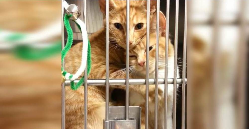 Un gato consuela a su hermanito menor al encontrarse atemorizado en la jaula de un refugio