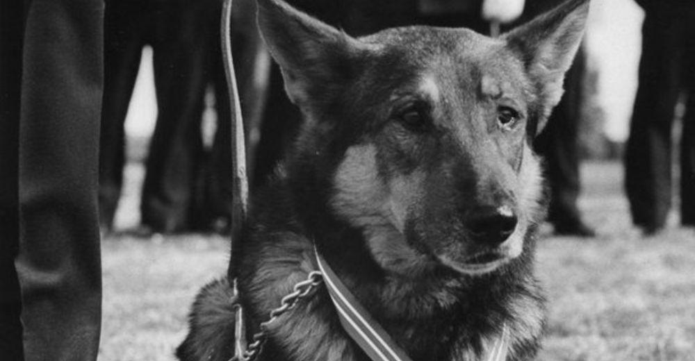prince revela la historia detras de la desaparicion de este perro heroe seal de los eeuu servicio militar medalla de corazon purpura valentia y servicio olvidado arrastrado de vuelta a vietnam arrancado de su hogar