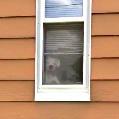 Boxer en la ventana