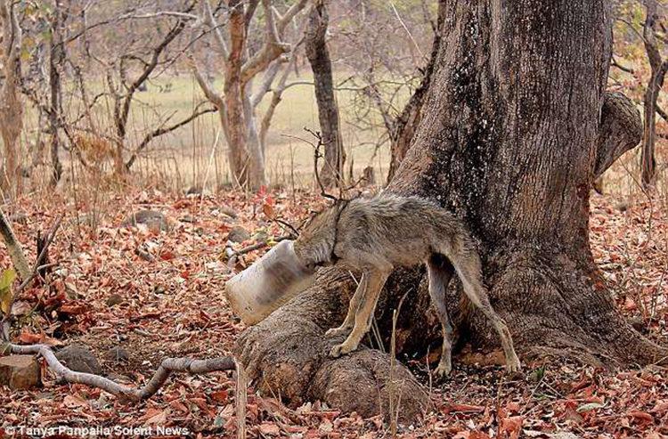 Lobo India