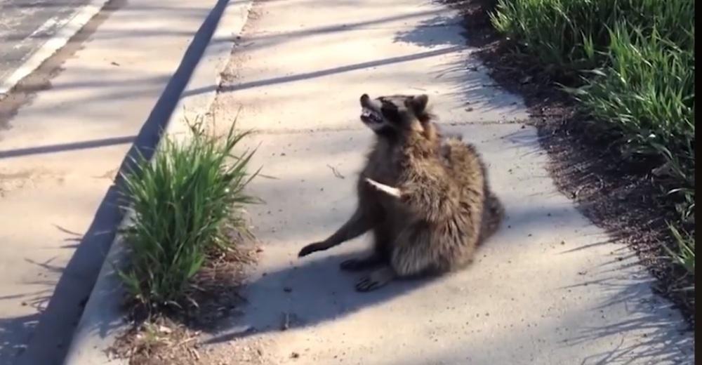 Decide llevar a su casa a un mapache abandonado y contamina a más de 20 personas