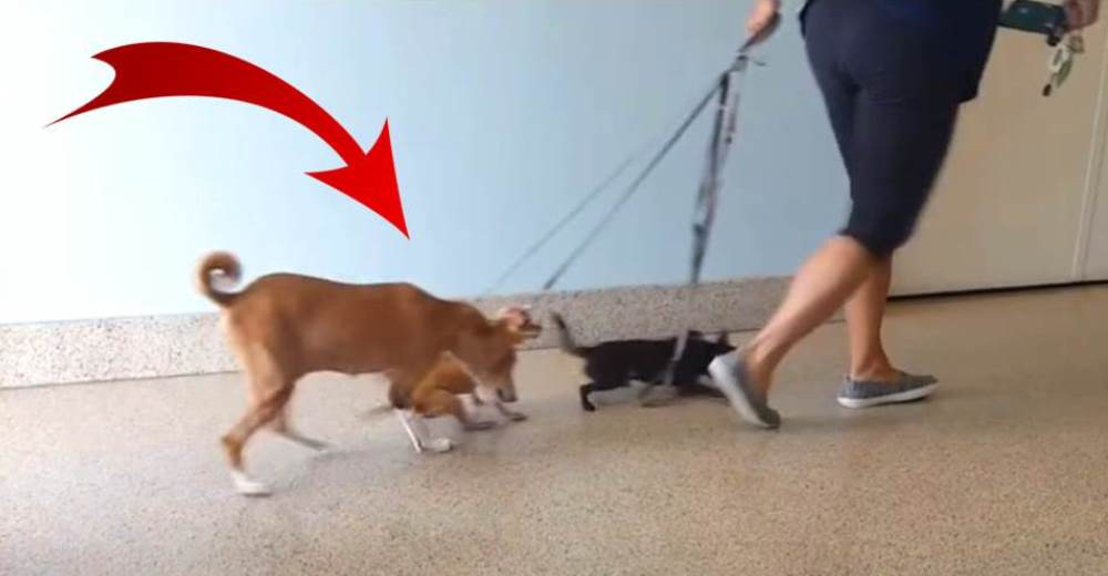 Captan a una mujer arrastrando a 3 perritos que se resisten porque temen su final