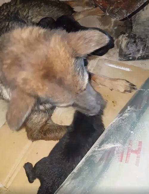 Cachorros Vietnam