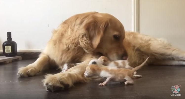Golden Retriever adopta gatitos