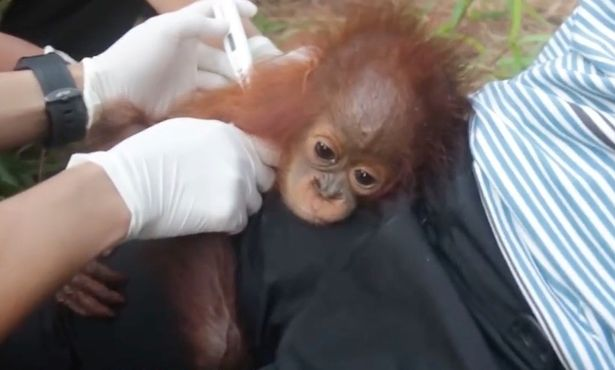 Orangután Borneo