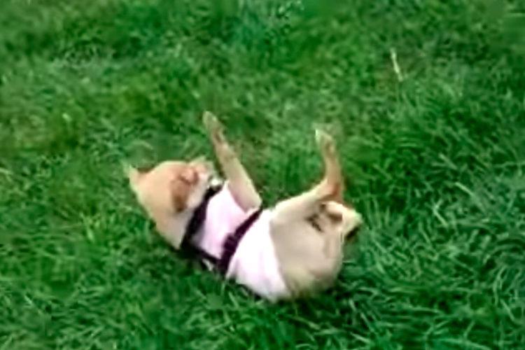 Chihuahua y Gran Danés