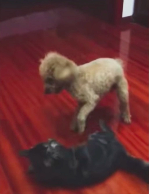 Perro Judoca
