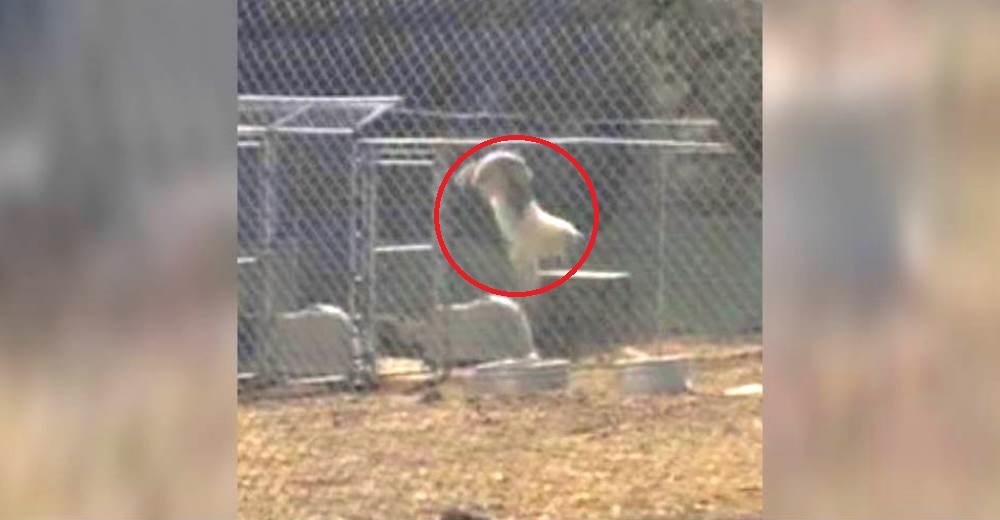 Un lobo salta una cerca de 3 metros de altura sólo para poder estar junto al amor de su vida