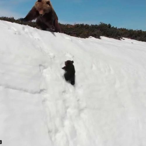 Osos escapando de drone