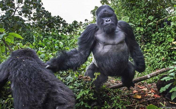 Gorila Borracho Ruanda