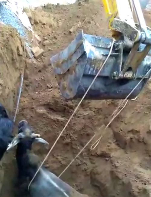 Rescate Vaca India