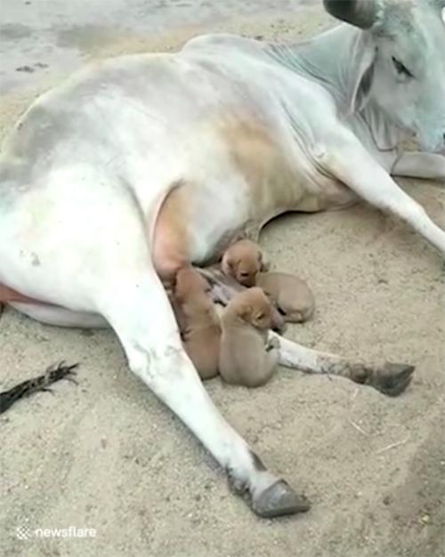 Vaca adopta cachorros India