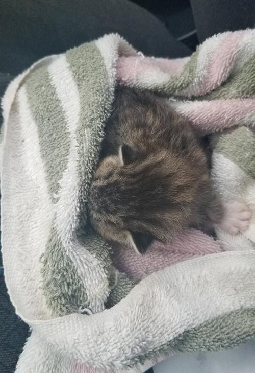 Gatito Perdido Carolina del Norte