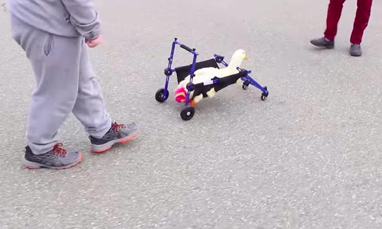 Merlin pato silla de ruedas