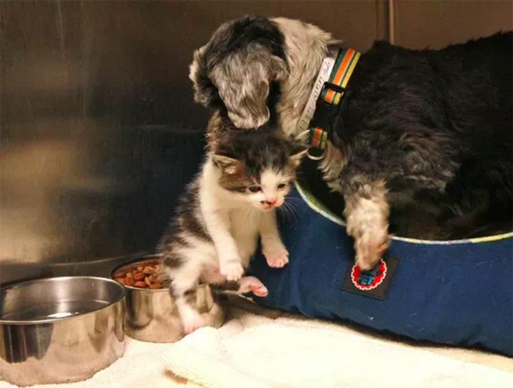 Perrita Shih Tzu adopta gatito