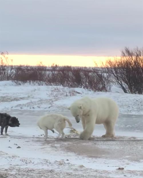 Perro y Oso Polar