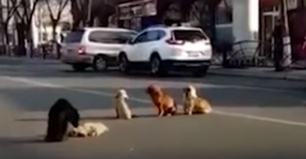 Graban a 4 perros callejeros bloqueando una calle cuando agachan sus cabezas al pie de su amigo