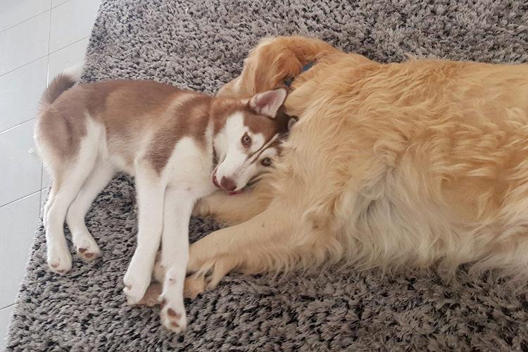 Perros destruyen sofa