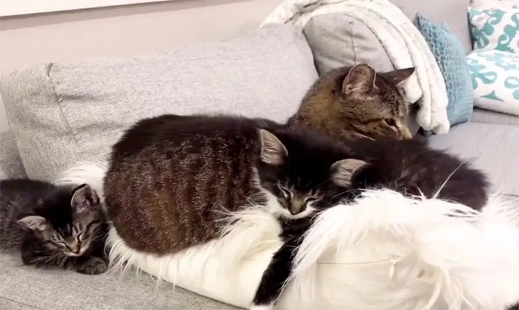 Abuelo gato cuida a huerfanitos