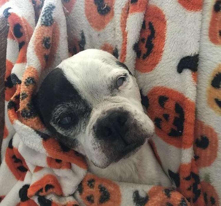Bruce Boston Terrier
