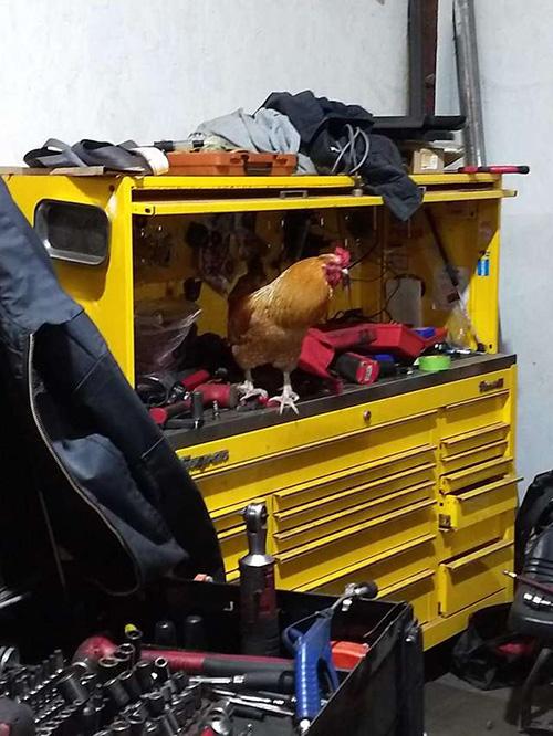 Earl gallo de taller mecánico