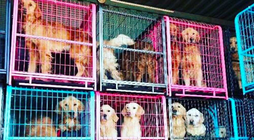 Golden retrievers rescatados en China