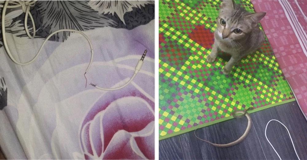 Gatito destruye los audífonos de su dueño y arrepentido, le entrega una serpiente como reemplazo