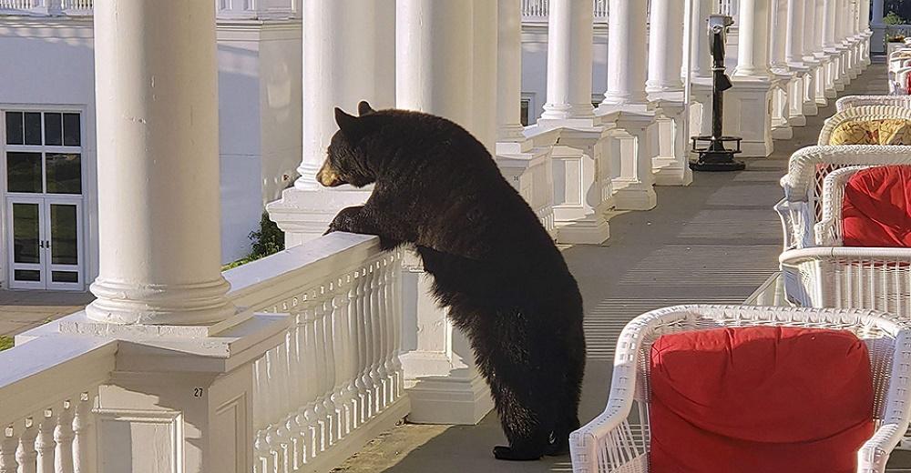 Captan a un imponente oso negro relajándose en el porche de un hotel