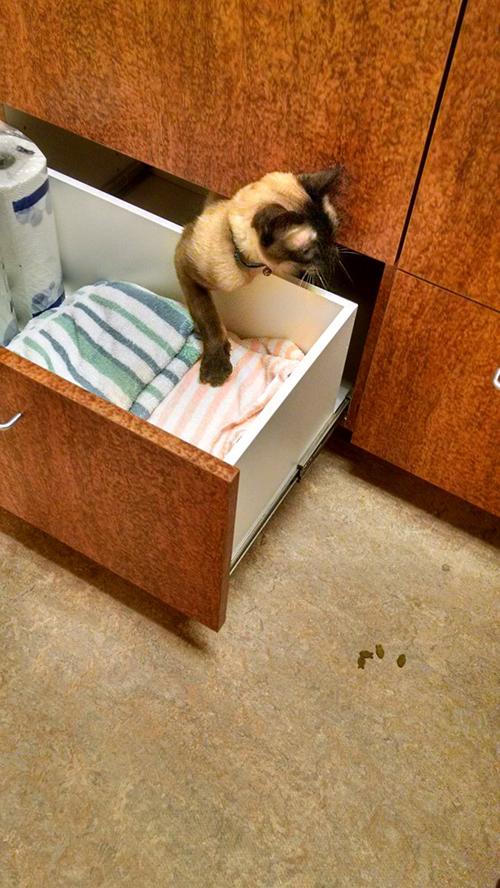 Gato se oculta del veterinario