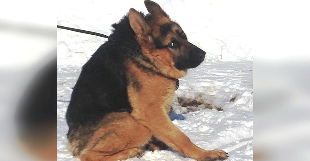 Perro hallado con el collar incrustado, no sabe de lo que es capaz aunque tenga la columna corta