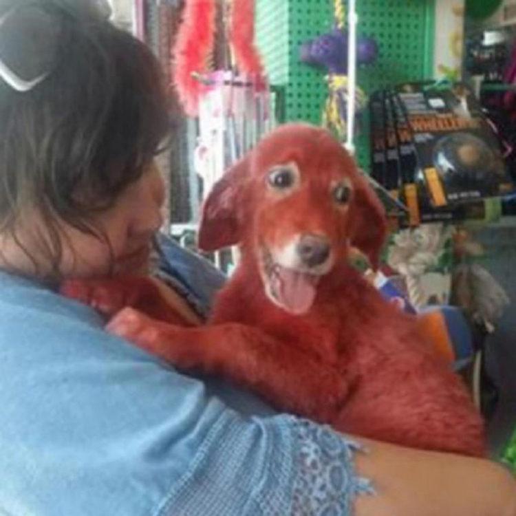 Scarlet perrita pintada de rojo