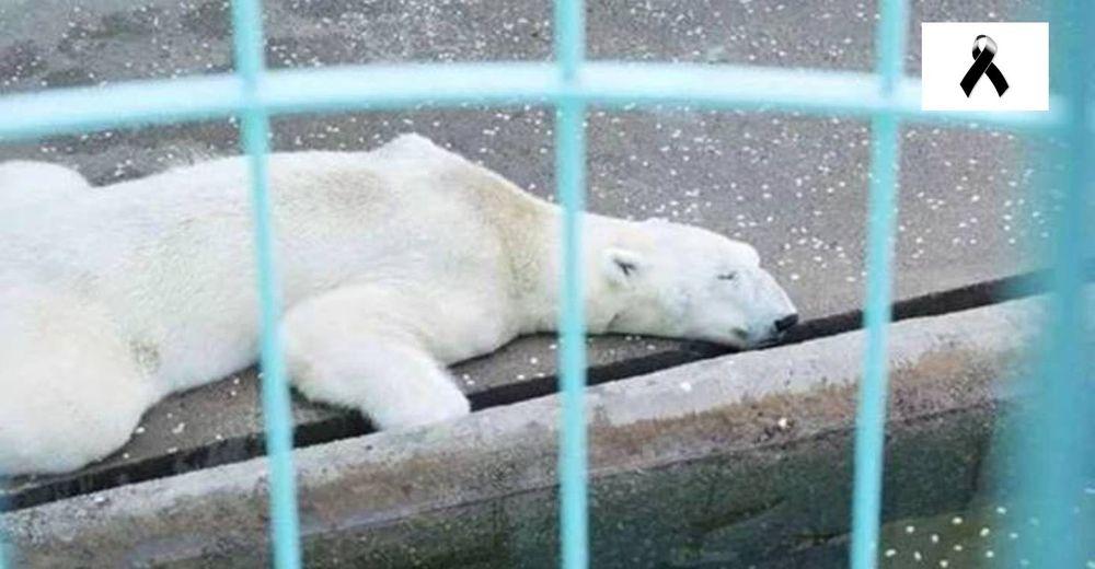 Muere el oso polar más triste del mundo tras 21 años de encierro en un zoológico