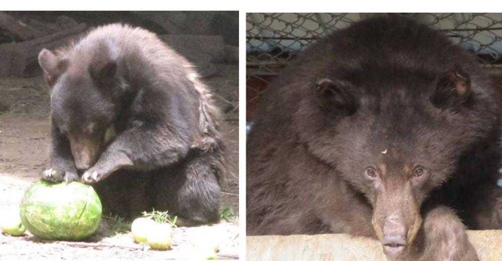 Cinder, el oso que sobrevivió a los incendios forestales pierde la vida en manos de un cazador