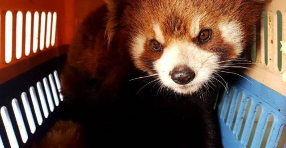 Rescatan pandas rojos de un cruel destino, podrían ser la próxima ambición del mercado negro