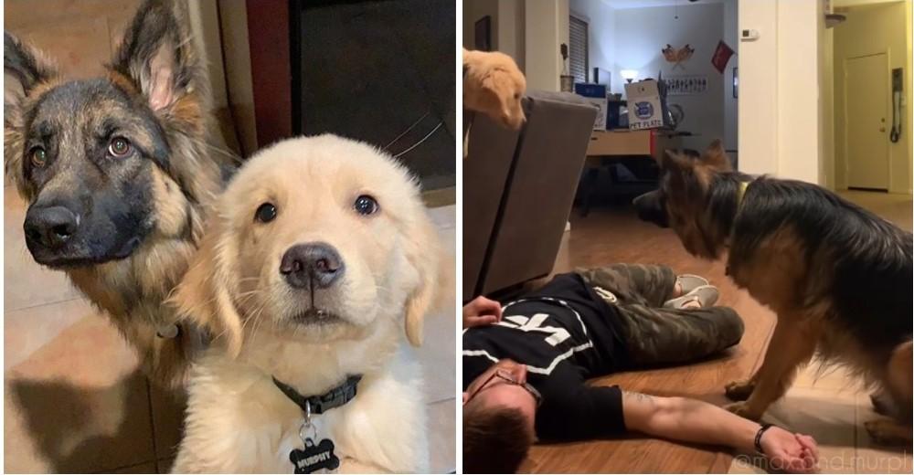 Finge un desmayo para probar a sus mascotas y ellos traman el plan perfecto para «despertarlo»