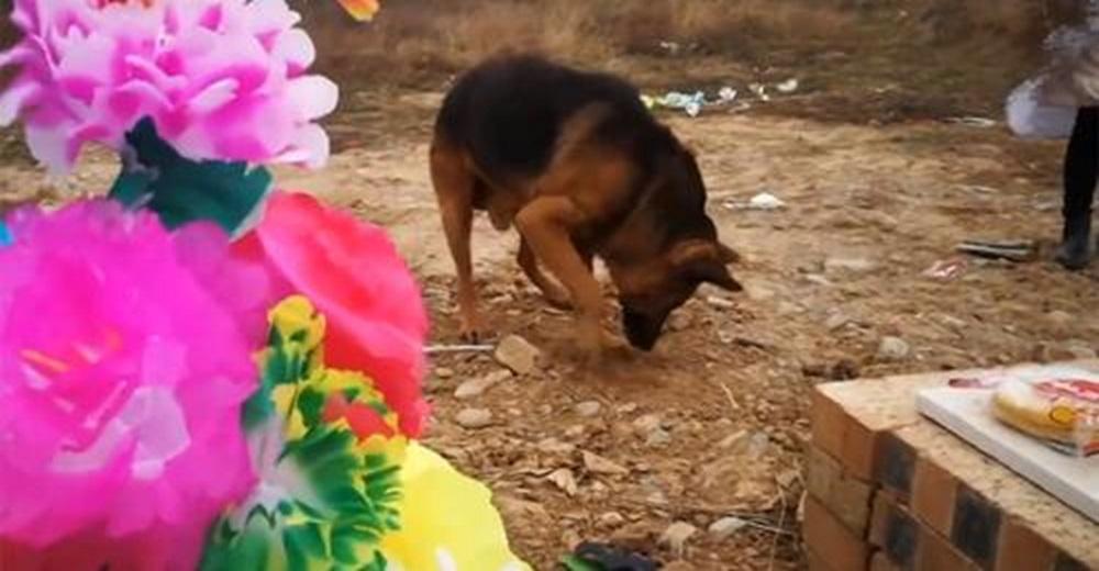 Perro desolado escarba sobre la tumba de su dueño fallecido, nadie lo preparó para vivir sin él
