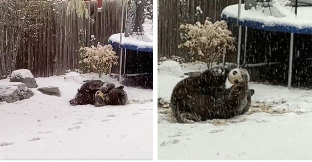 Graban a un oso jugando como un niño con una pelota que encontró en el patio de una casa