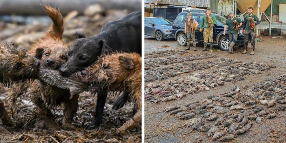 Héroes caninos antiplagas pasan 7 horas acabando con la vida de más de 700 ratas