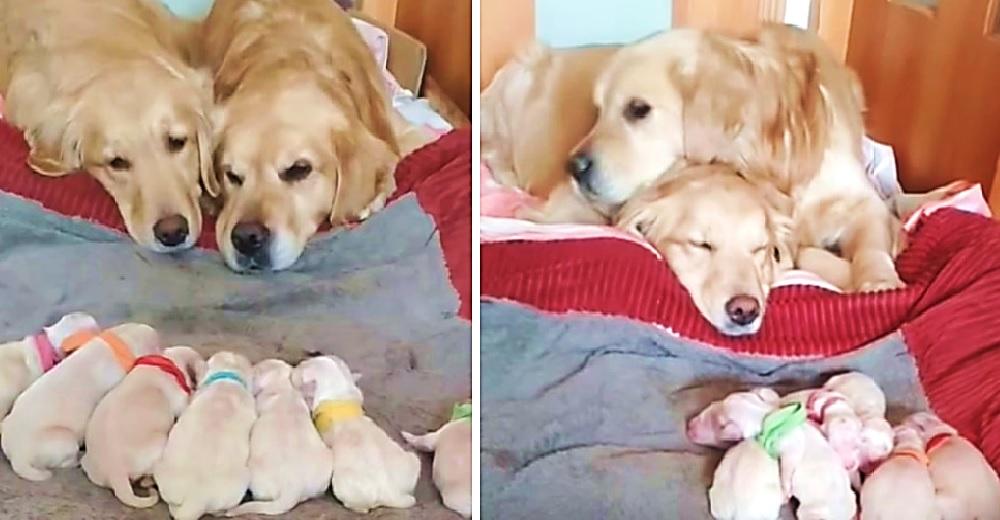 Graban a un papá y una mamá golden cuidando amorosamente de sus 7 cachorros recién nacidos