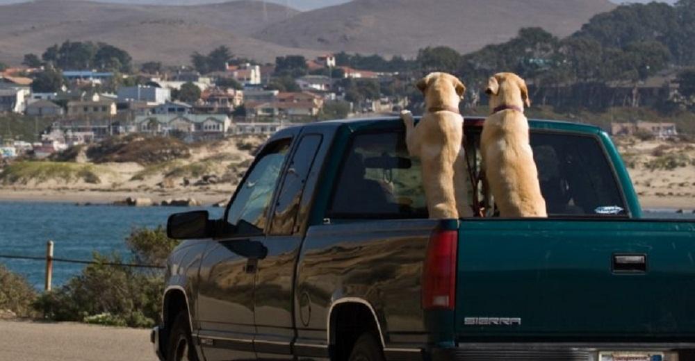 Más de 100.000 perros mueren cada año viajando en camionetas y la causa no es la más evidente
