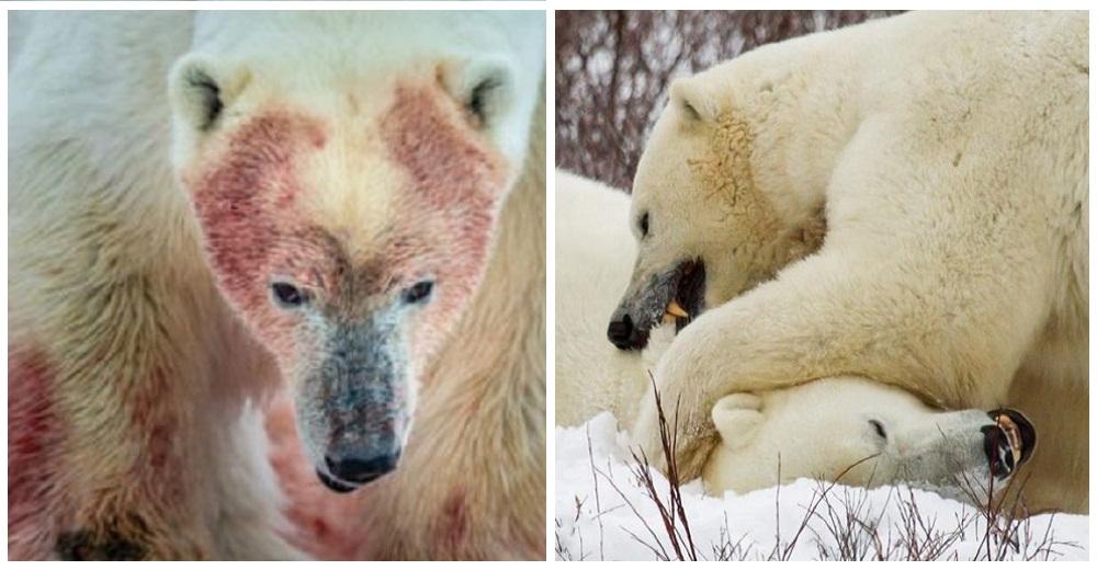 Capturan impactantes escenas de osos polares obligados a comerse entre sí para sobrevivir